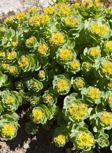 Asienfetthennen (Rhodiola)