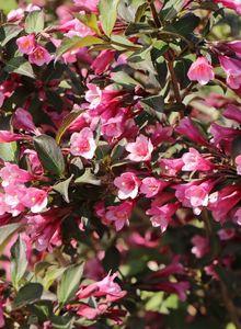Rotblättrige Weigelie 'Purpurea'