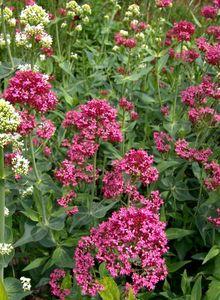 Spornblumen (Centranthus)