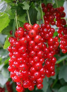 Rote Johannisbeere 'Detvan'