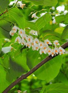 Storaxbäume (Styrax)