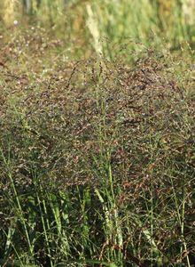 Rispenhirsen (Panicum)
