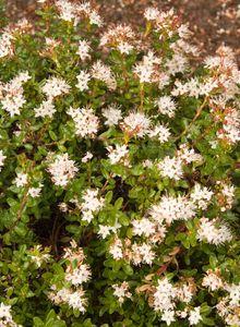 Leiophyllum (Leiophyllum)
