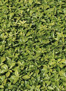 Schattengrün 'Green Carpet' ®
