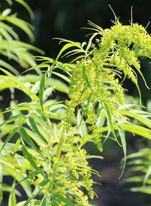 Scheinhanfgewächse (Datiscaceae)