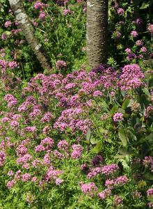Rötegewächse (Rubiaceae)