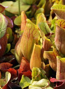 Schlauchpflanzengewächse (Sarraceniaceae)