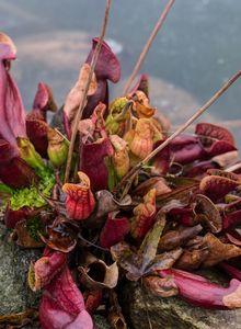 Schlauchpflanzen (Sarracenia)
