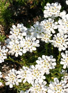 Schleifenblumen (Iberis)