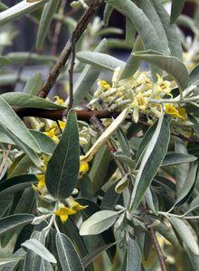 Ölweiden (Elaeagnus)
