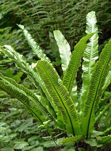 Streifenfarngewächse (Aspleniaceae)