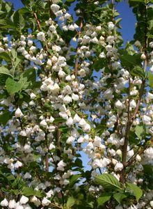 Schneeglöckchenbäume (Halesia)