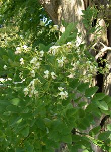 Schnurbäume (Sophora)