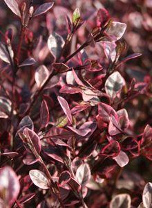 Lophomyrtus (Lophomyrtus)