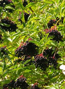 Moschuskrautgewächse (Adoxaceae)