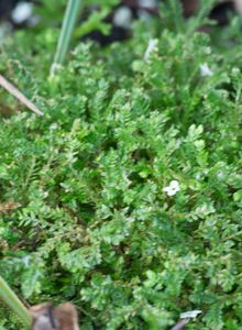 Moosfarne (Selaginella)
