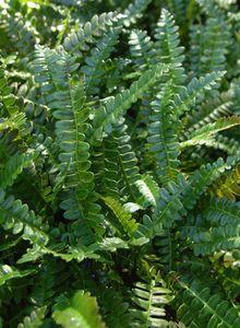 Rippenfarngewächse (Blechnaceae)