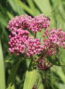Seidenpflanzen (Asclepias)