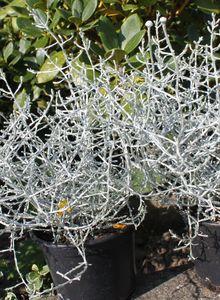 Leucophyta (Leucophyta)