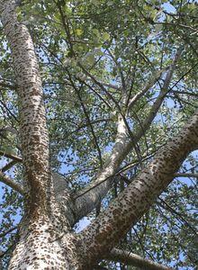 Pappeln (Populus)