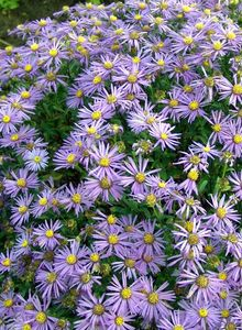 Astern (Aster)