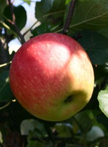 Sommerapfel 'James Grieve'