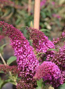 Sommerflieder / Schmetterlingsstrauch 'Summer Beauty'