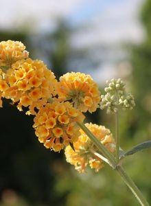 Sommerflieder / Schmetterlingsstrauch 'Sungold'