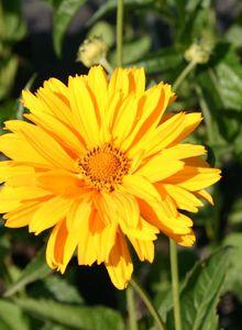 Sonnenaugen (Heliopsis)