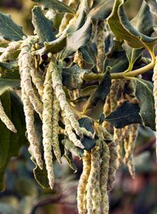 Becherkätzchengewächse (Garryaceae)