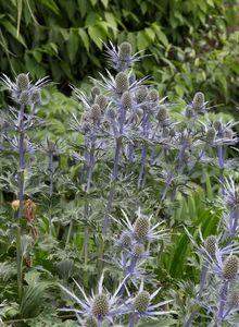 Doldenblütler (Apiaceae)