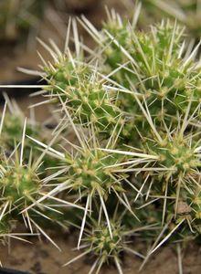 Kakteengewächse (Cactaceae)