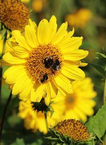 Sonnenblumen (Helianthus)
