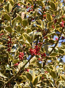 Stechpalmengewächse (Aquifoliaceae)