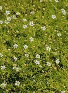 Sternmoos 'Scotch Moss'