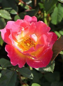 Rosengewächse (Rosaceae)