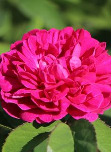 Strauchrose 'Rose de Resht'