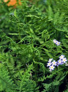 Sumpffarngewächse (Thelypteridaceae)
