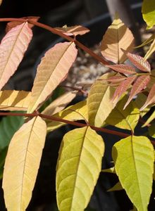 Mahagonigewächse (Meliaceae)
