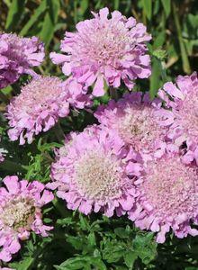Tauben-Skabiose 'Pink Mist'