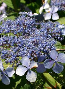 Kleinwüchsige Tellerhortensie 'Bluebird'