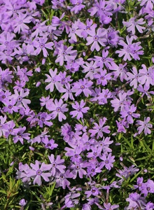 Teppich-Flammenblume 'Purple Beauty'