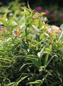 Traubenheiden (Leucothoe)
