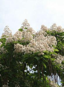 Trompetenbäume (Catalpa)