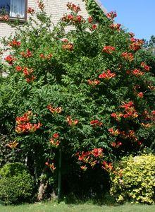 Amerikanische Klettertrompete (rot)