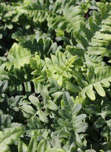 Tüpfelfarngewächse (Polypodiaceae)