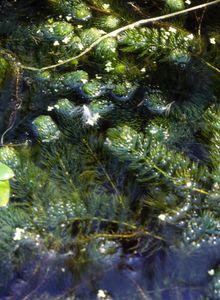 Hornblattgewächse (Ceratophyllaceae)