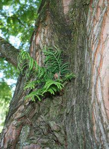 Urwelt-Mammutbaum (Metasequoia)