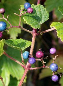 Scheinreben (Ampelopsis)