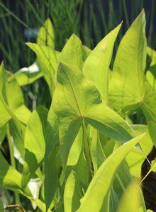 Froschlöffelgewächse (Alismataceae)